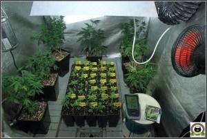 seguimientos de cultivo de marihuana